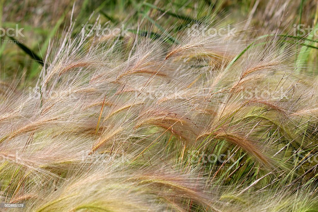 Feather grass royalty-free stock photo