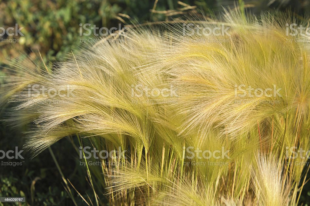 feather grass, Stipa stock photo