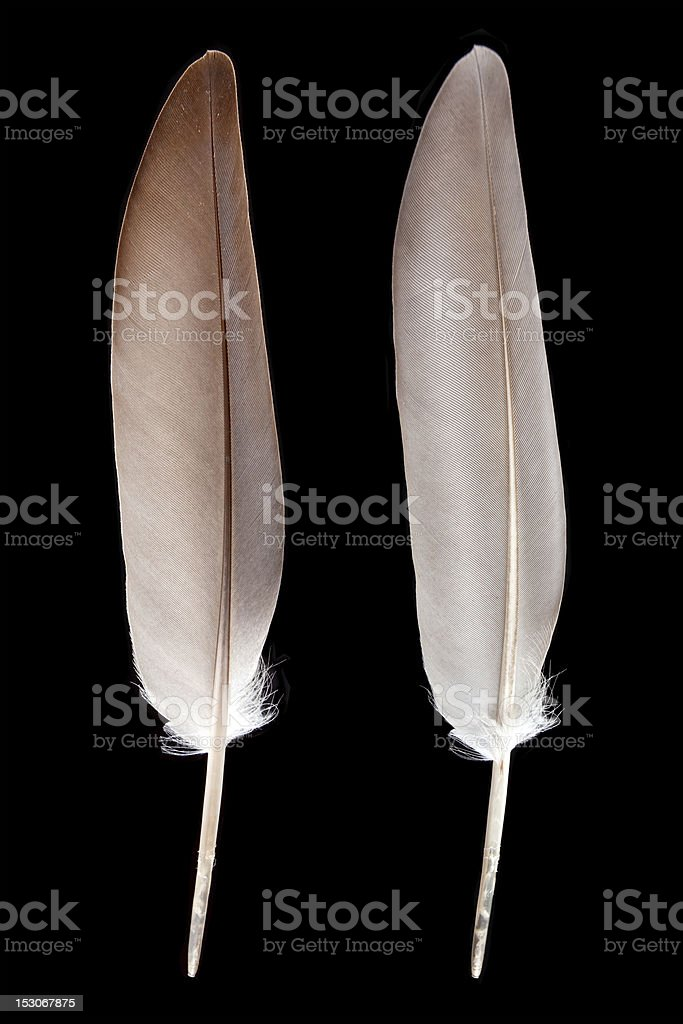 Feather isolated on black background. royalty-free stock photo