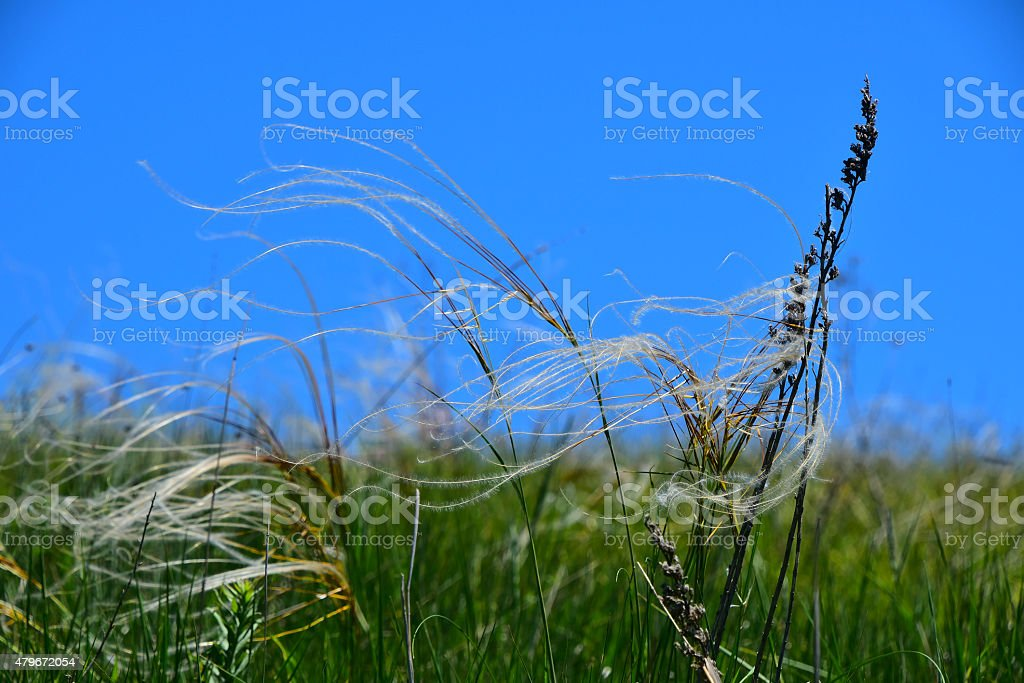 Feather mat grass stipa in the wind under blue sky royalty-free stock photo
