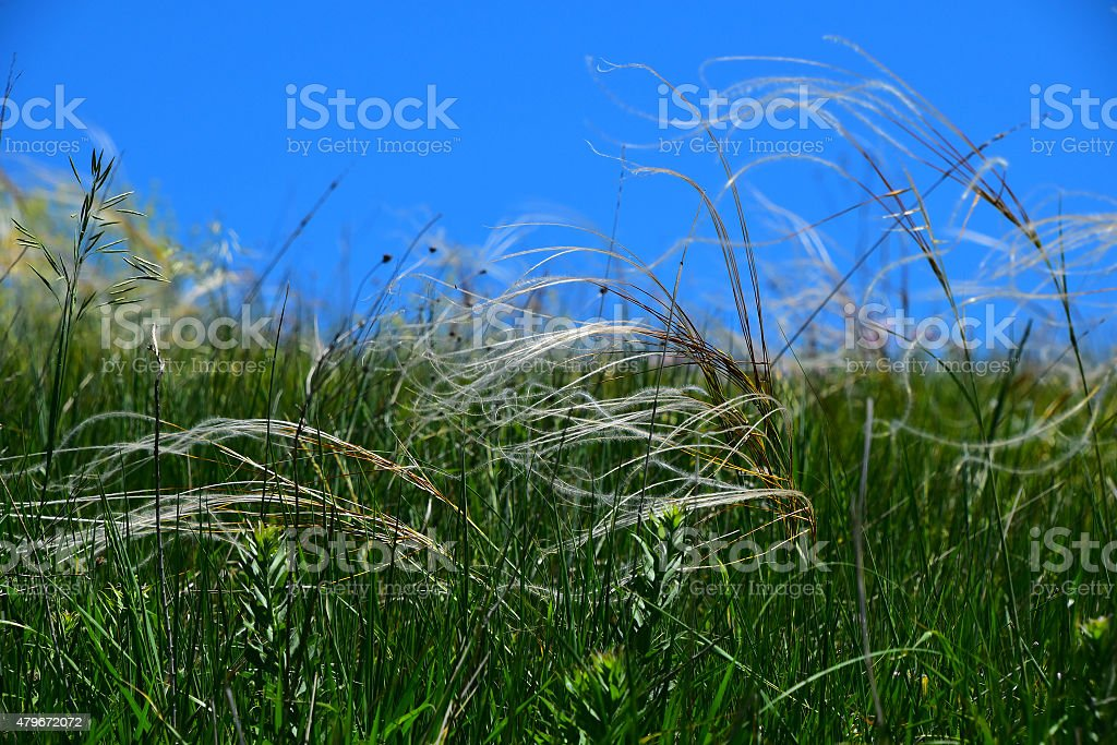 Feather mat grass stipa in wind under blue sky royalty-free stock photo