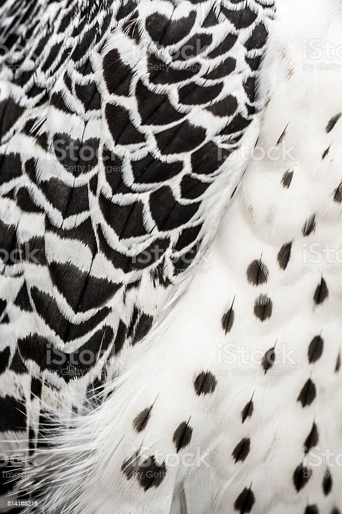 Feather on wing and body of gyrfalcon stock photo