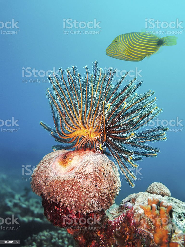 Feather Star and Striped Trigger Fish stock photo