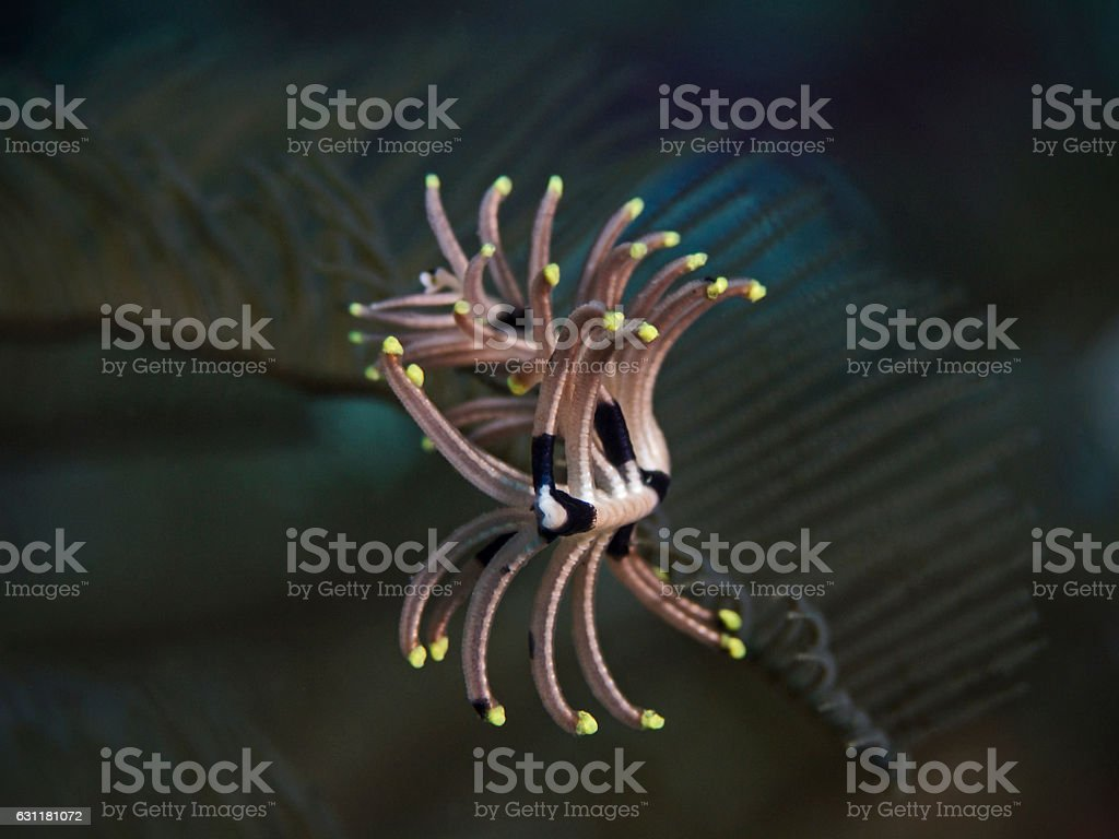 Feather star detail, Federstern Detail stock photo