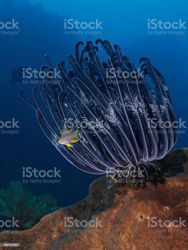 Feather star, Federstern (Cenometra bella) stock photo