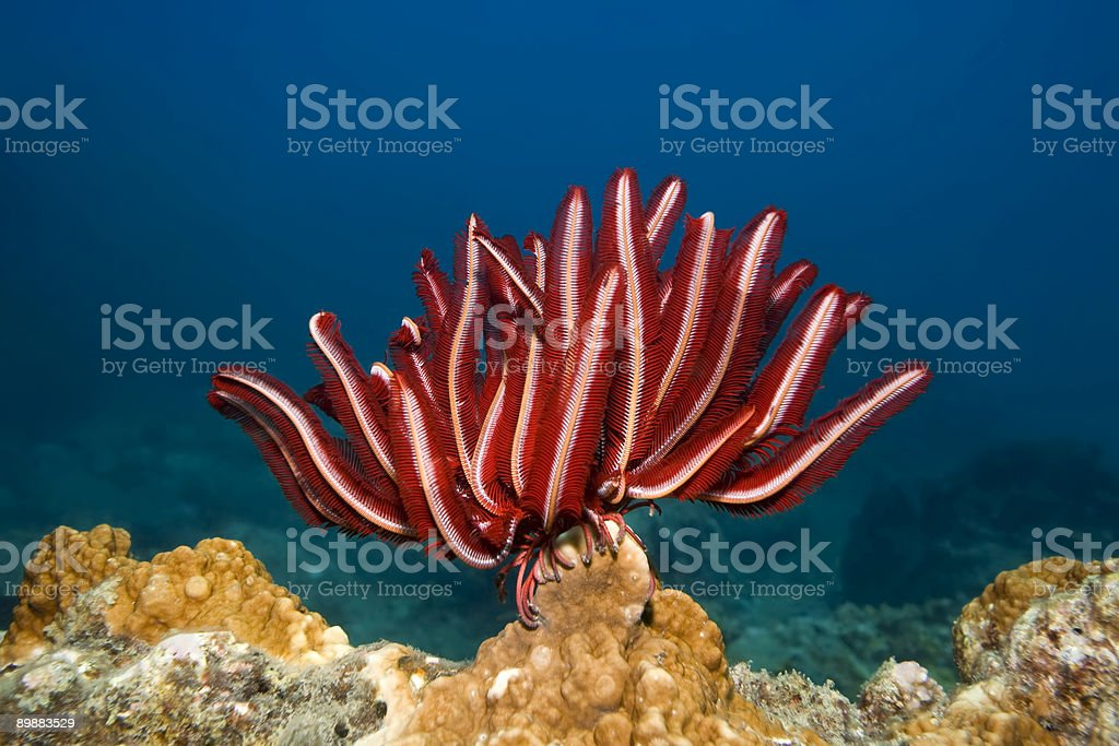 Feather star stock photo