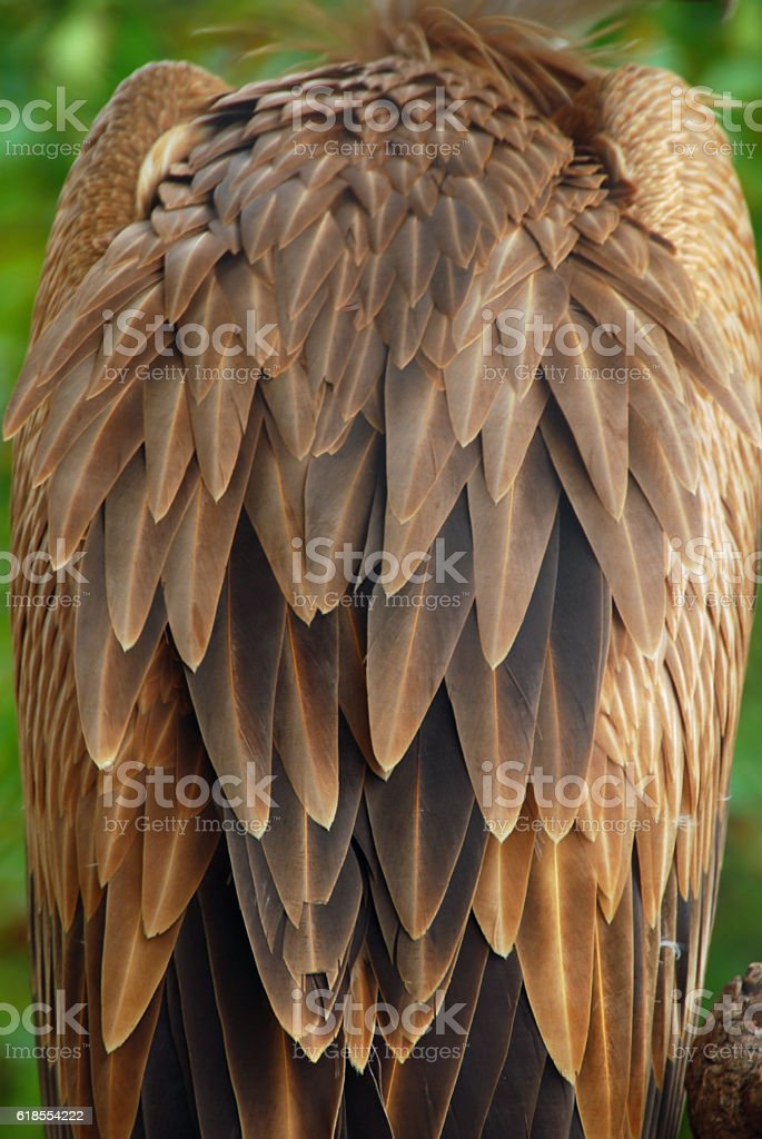 Feather variation of the Eurasian Griffon Vulture stock photo