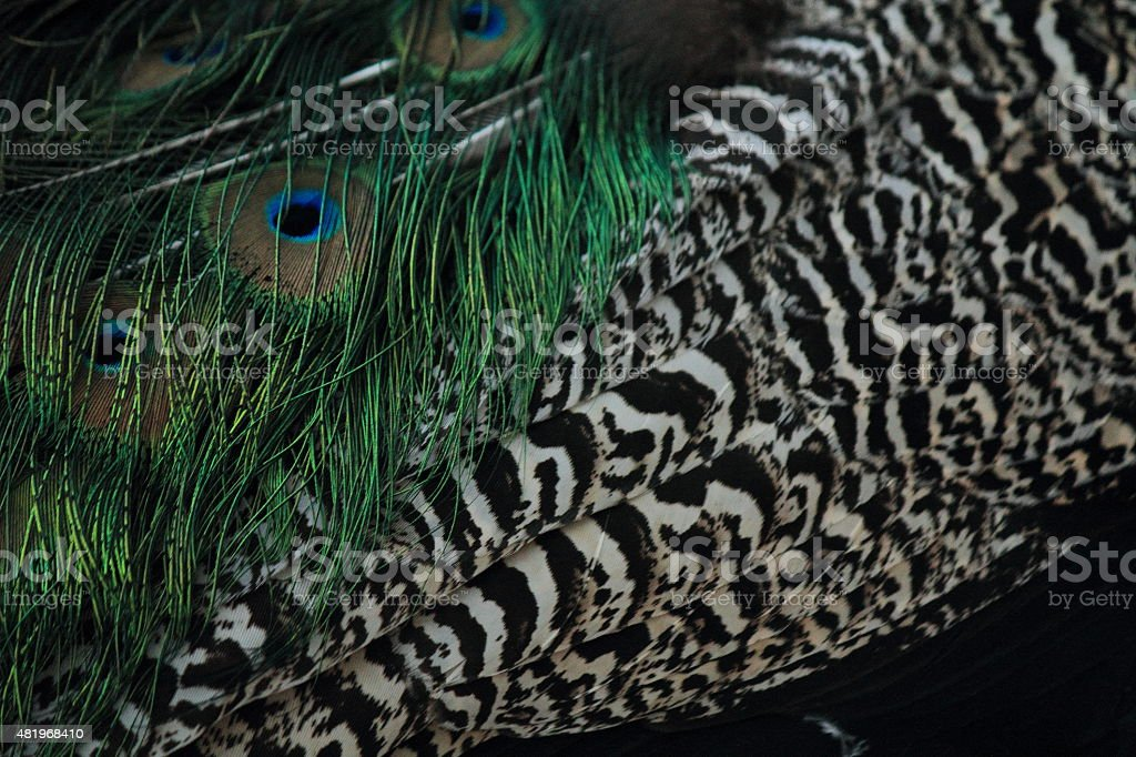 Feathers of a Peacock royalty-free stock photo