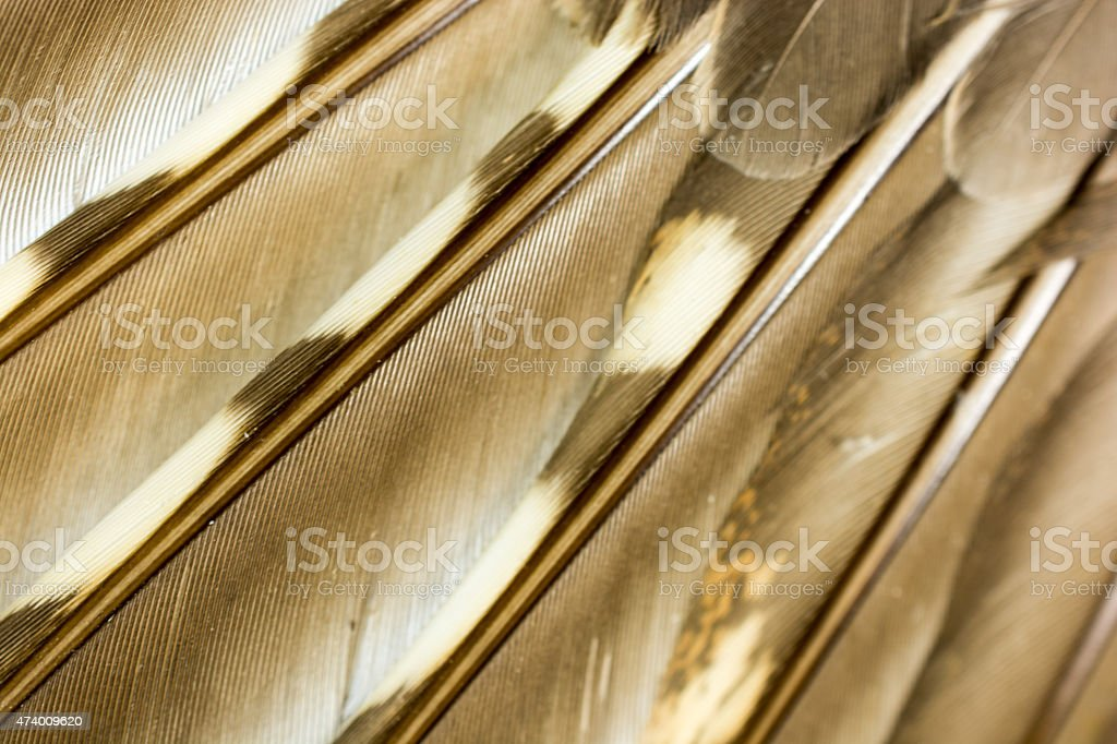 Feathers of a Ruffed Grouse wing on  white- Macro stock photo