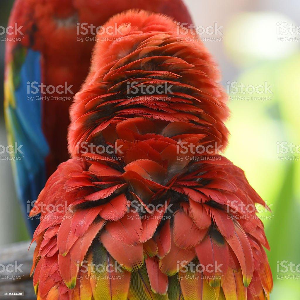 Plumes Ara rouge photo libre de droits