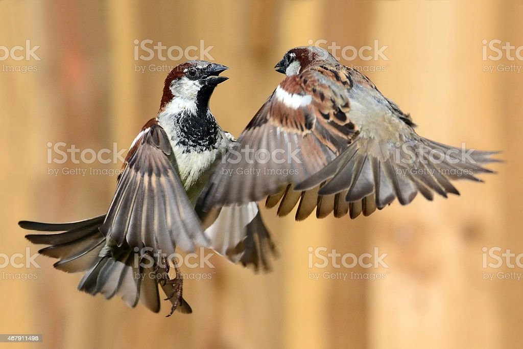 Featherweight Fighters - Round Two stock photo