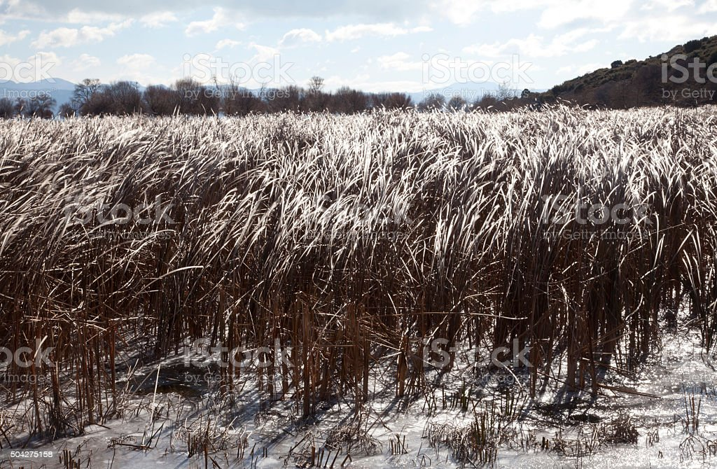 Feathery Reeds stock photo