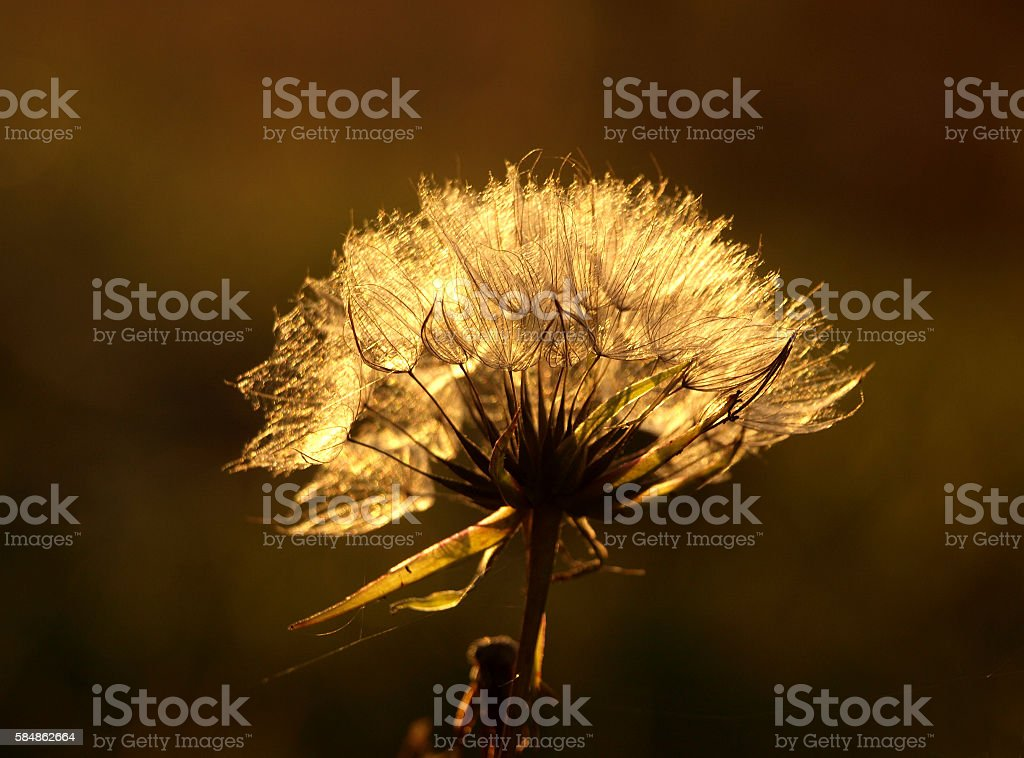 Feathery seed head of the Creeping Thistle stock photo