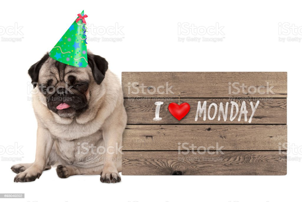 fed up pug puppy dog wearing party hat, sitting down next to wooden sign with text I love monday stock photo