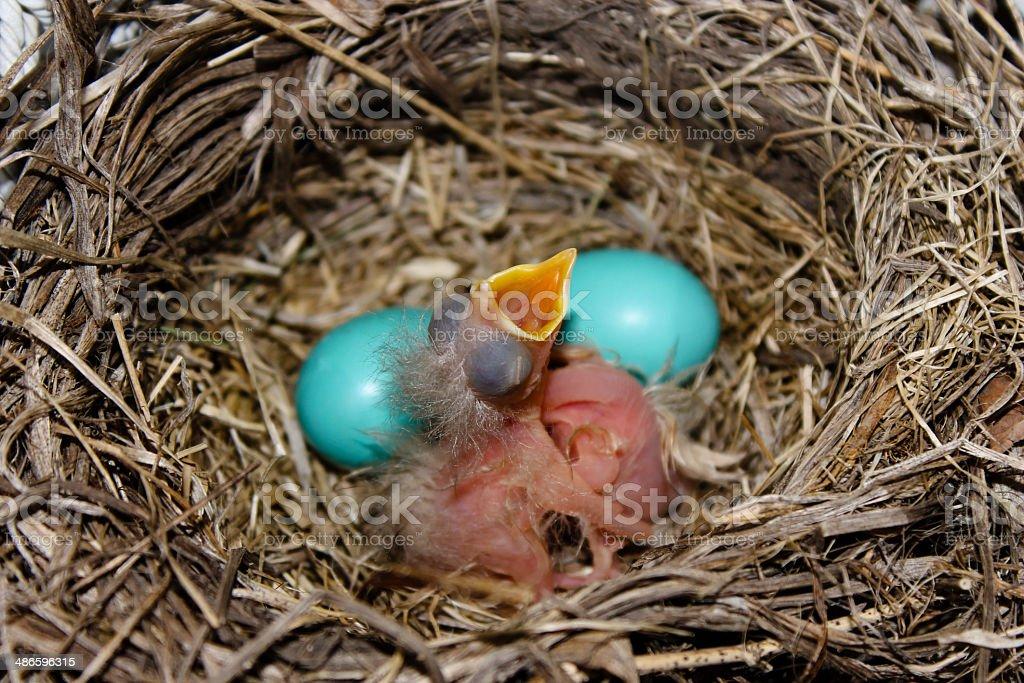 Feed Me Baby Robin stock photo