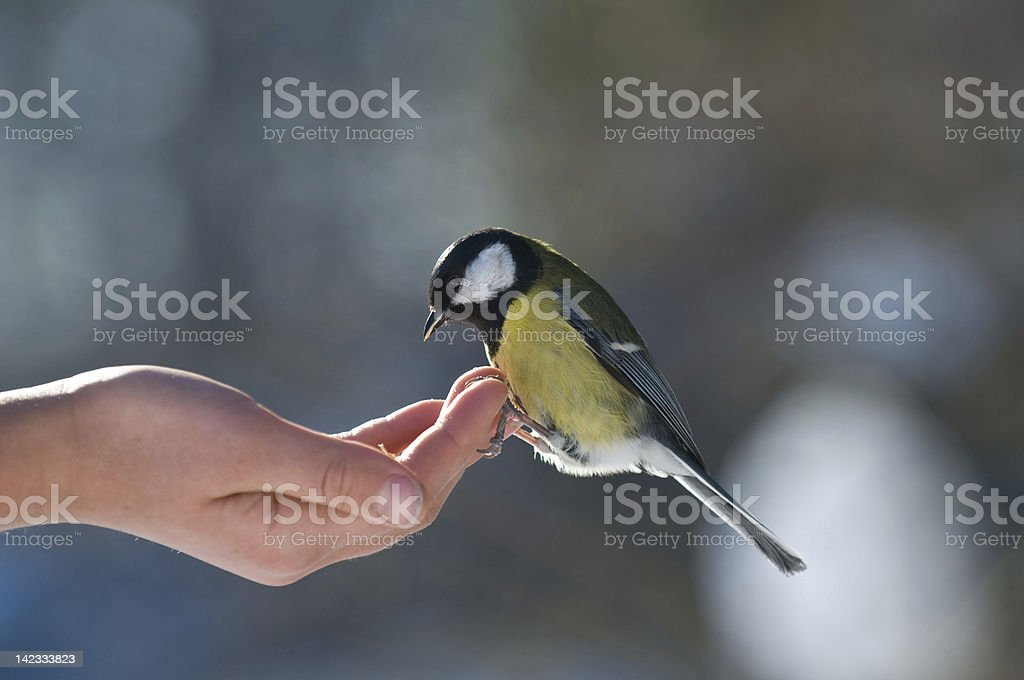 feed of little bird royalty-free stock photo