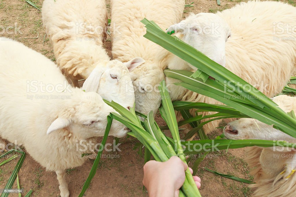 Feed sheep eating with grass stock photo