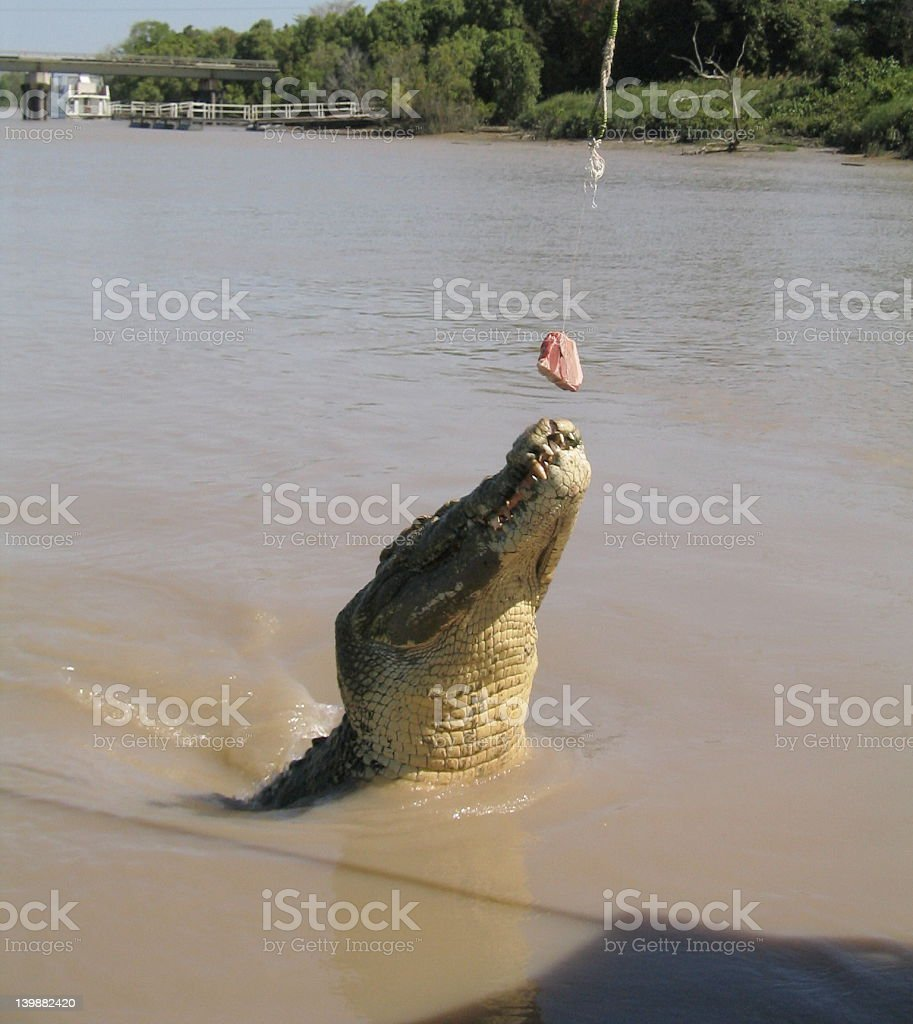 Feed the Croc royalty-free stock photo