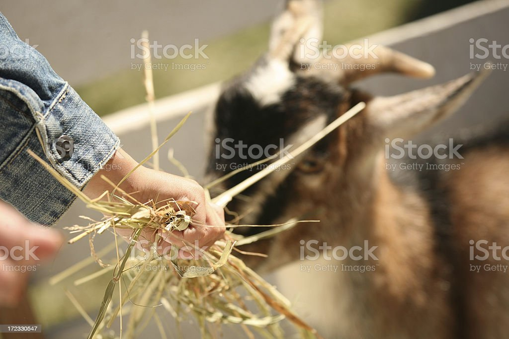 Feed the Goat stock photo