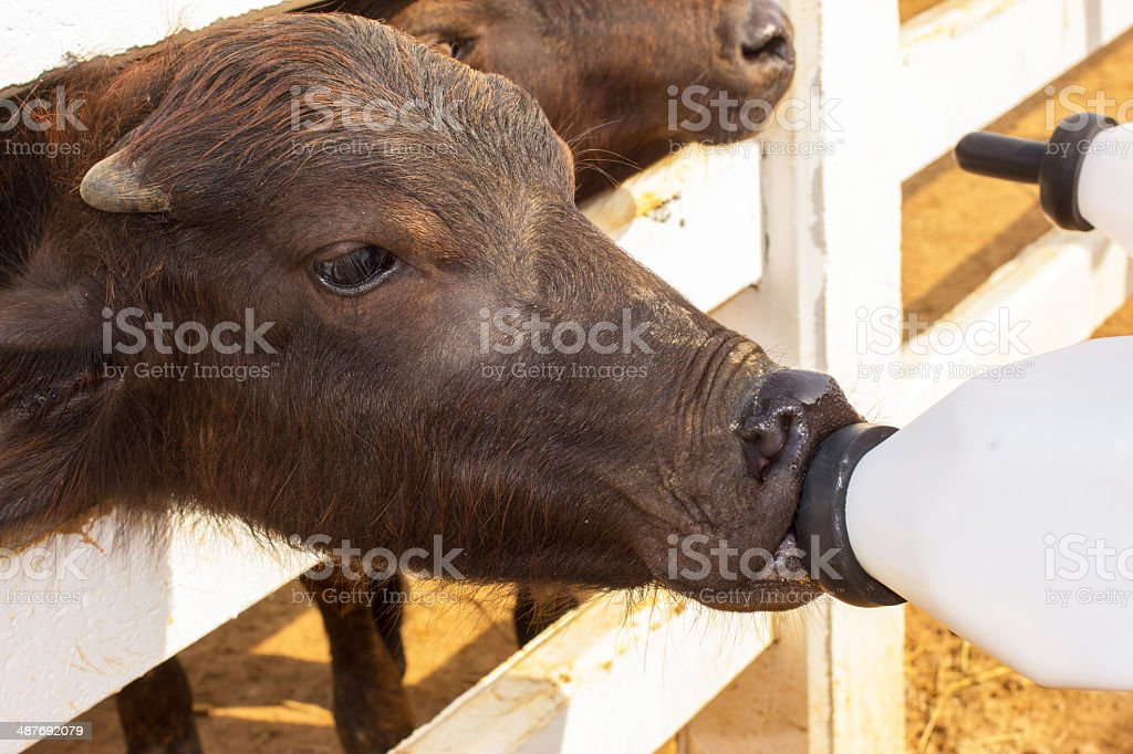 Feeding a baby of murrah buffaloes from bottle stock photo