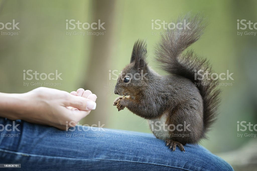 Feeding a Squirrel royalty-free stock photo