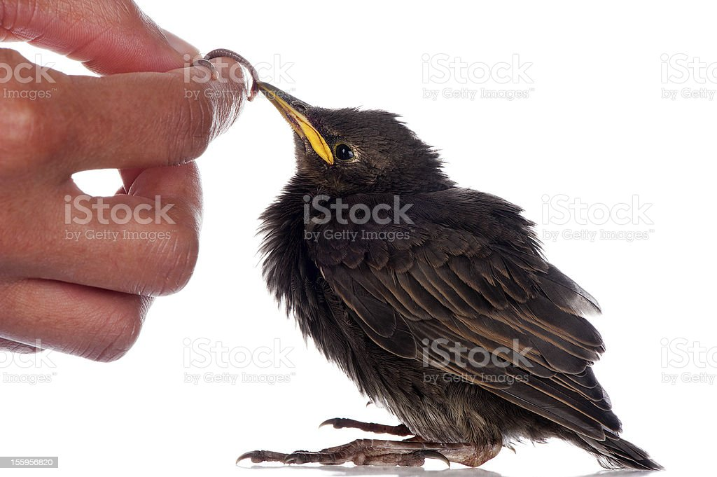 Feeding a starling royalty-free stock photo