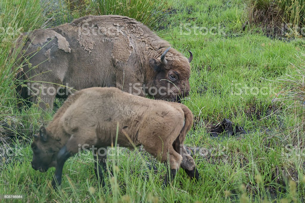 Feeding adult female wisent or European wood bison with calf stock photo