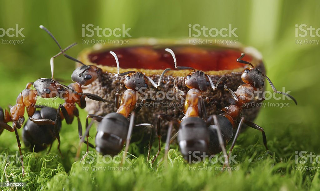 feeding ants with sweet syrup stock photo