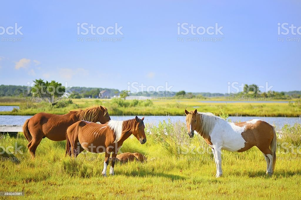 Feeding Assateague Ponies stock photo