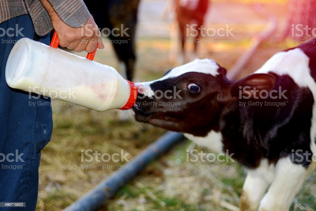 feeding baby calf stock photo