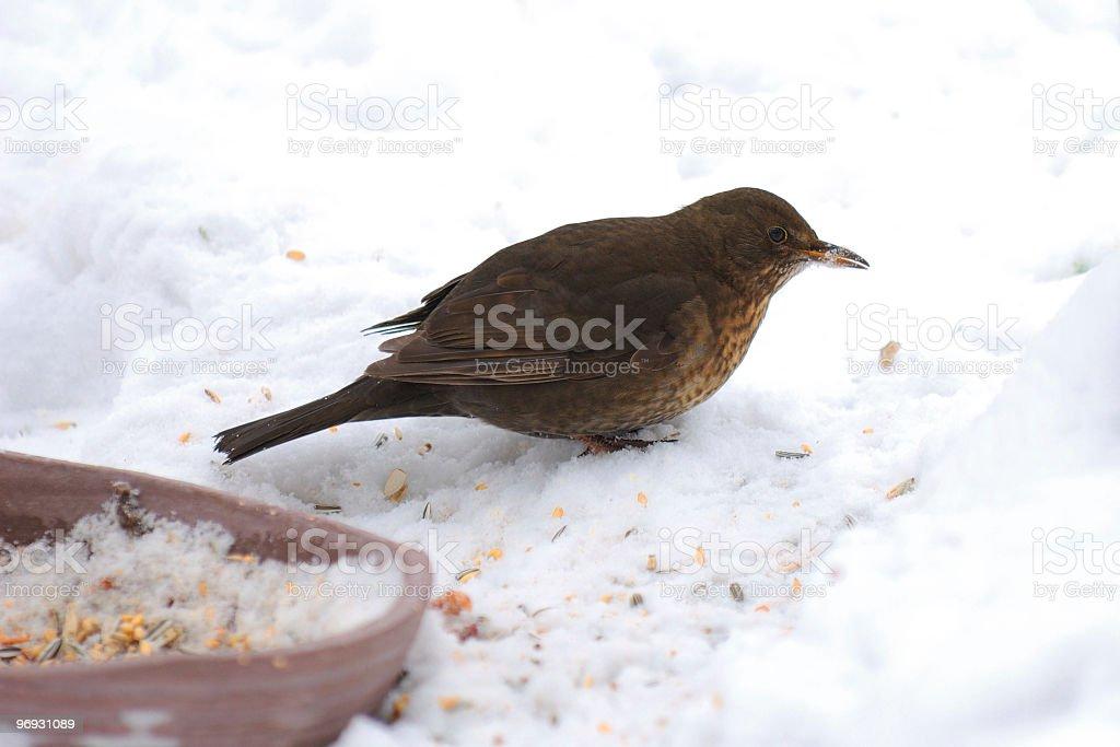 Feeding blackbirds stock photo