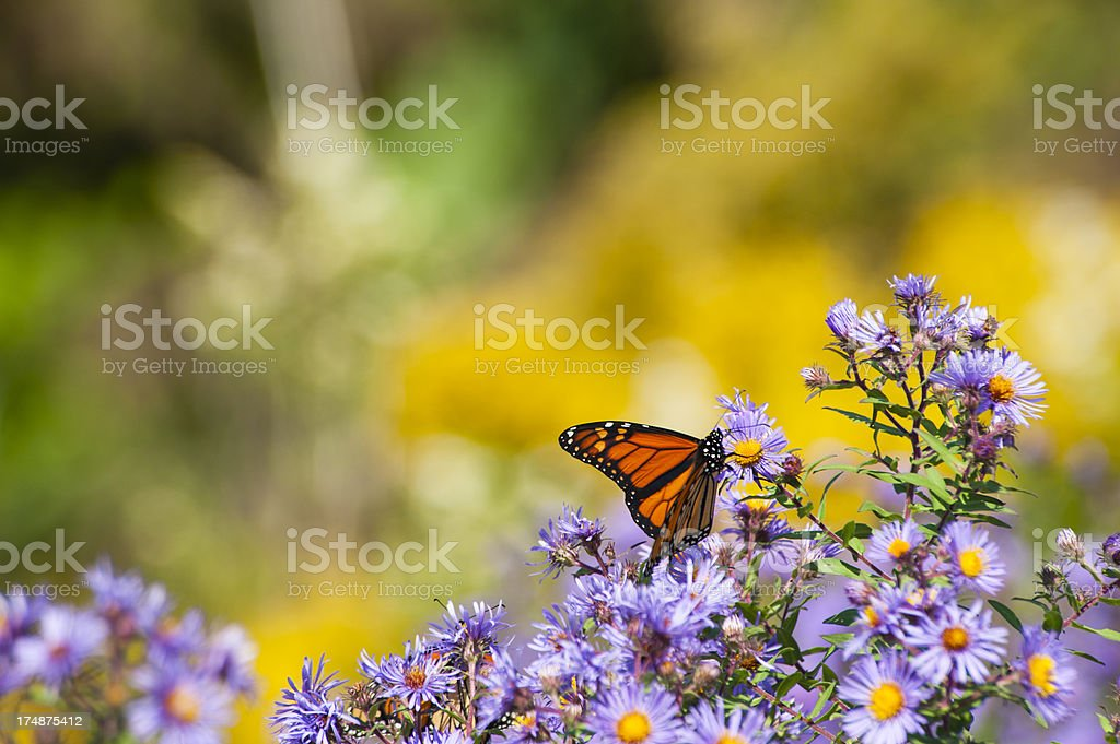 Feeding Butterfly royalty-free stock photo