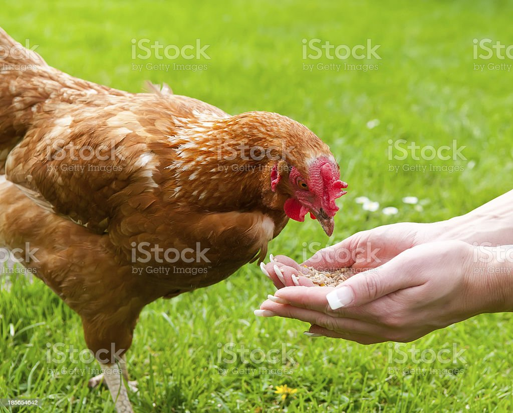 feeding chicken royalty-free stock photo