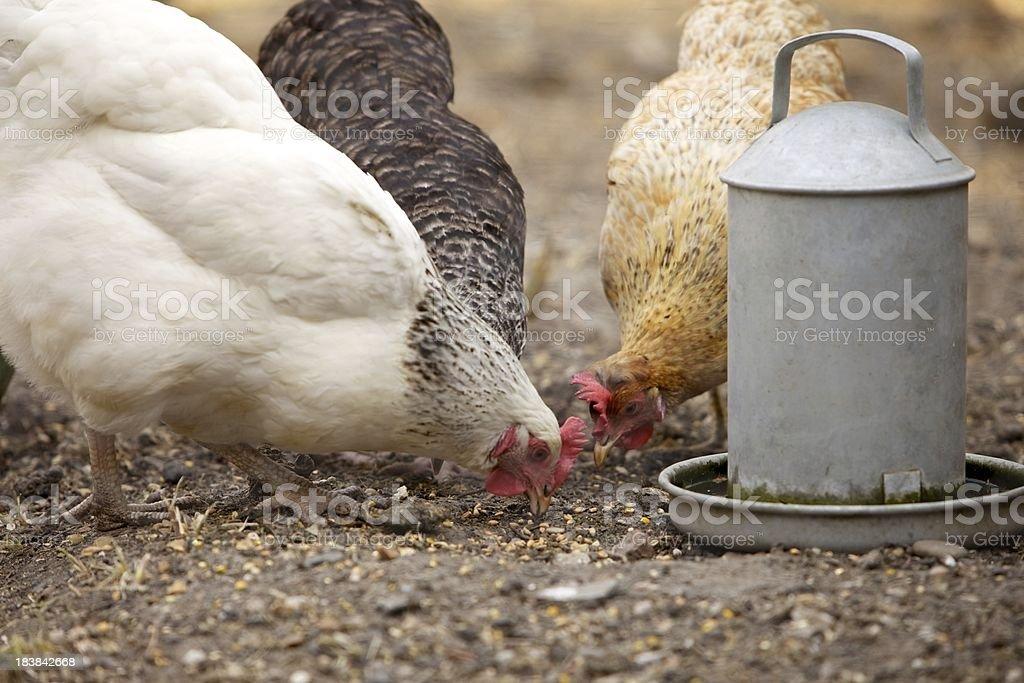 Feeding Chickens... royalty-free stock photo