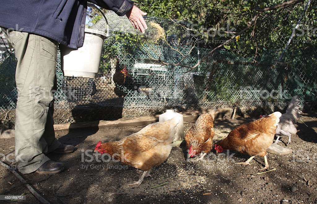 Feeding chickens royalty-free stock photo