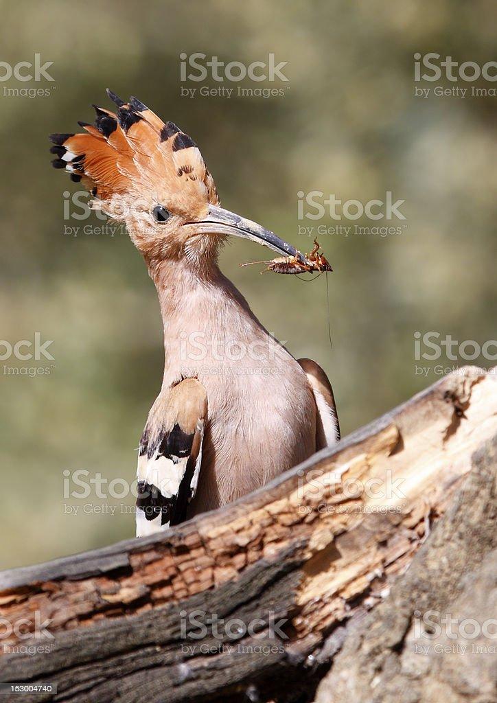 Feeding chicks stock photo
