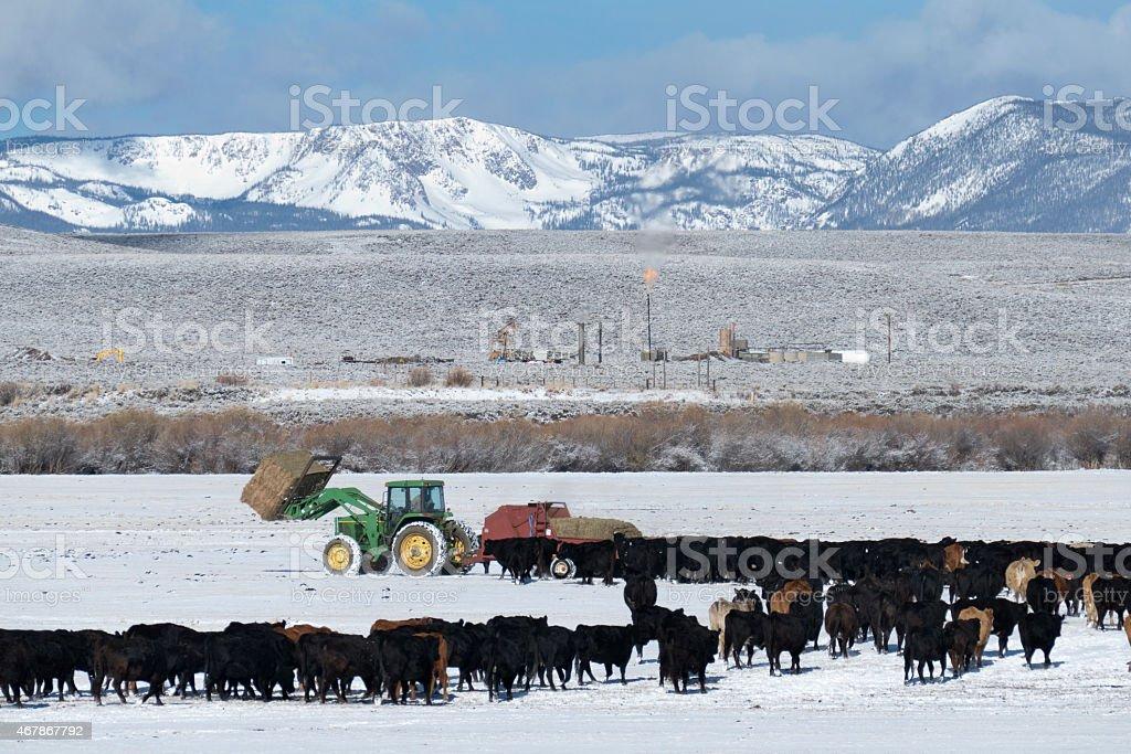 Feeding cows hay on snowy ranch in Colorado Rocky Mountains stock photo