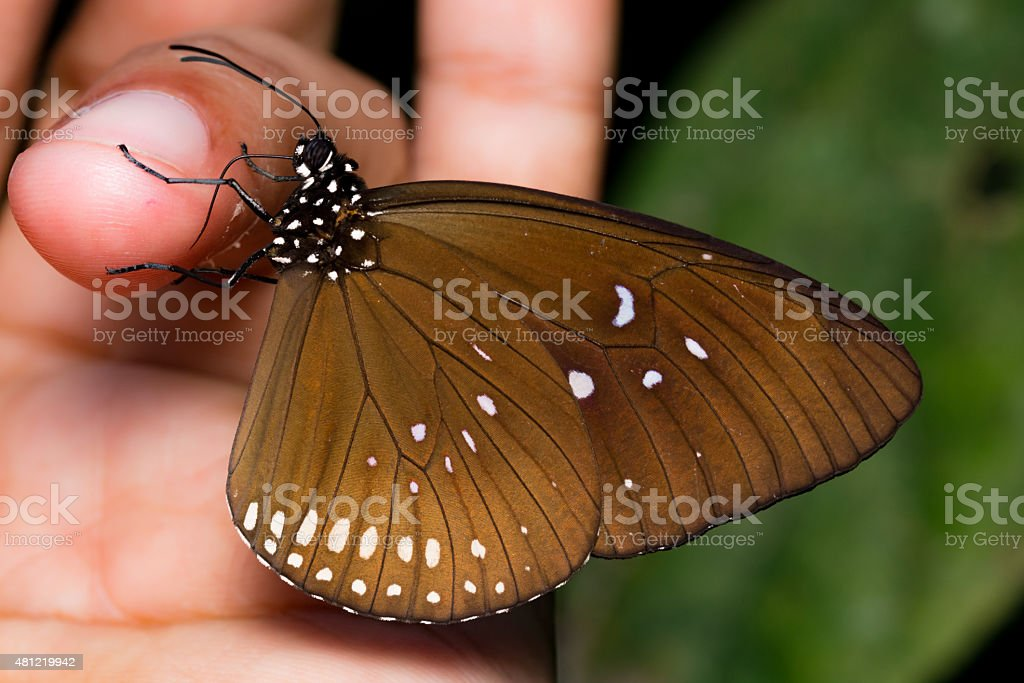Feeding Crow Butterfly stock photo