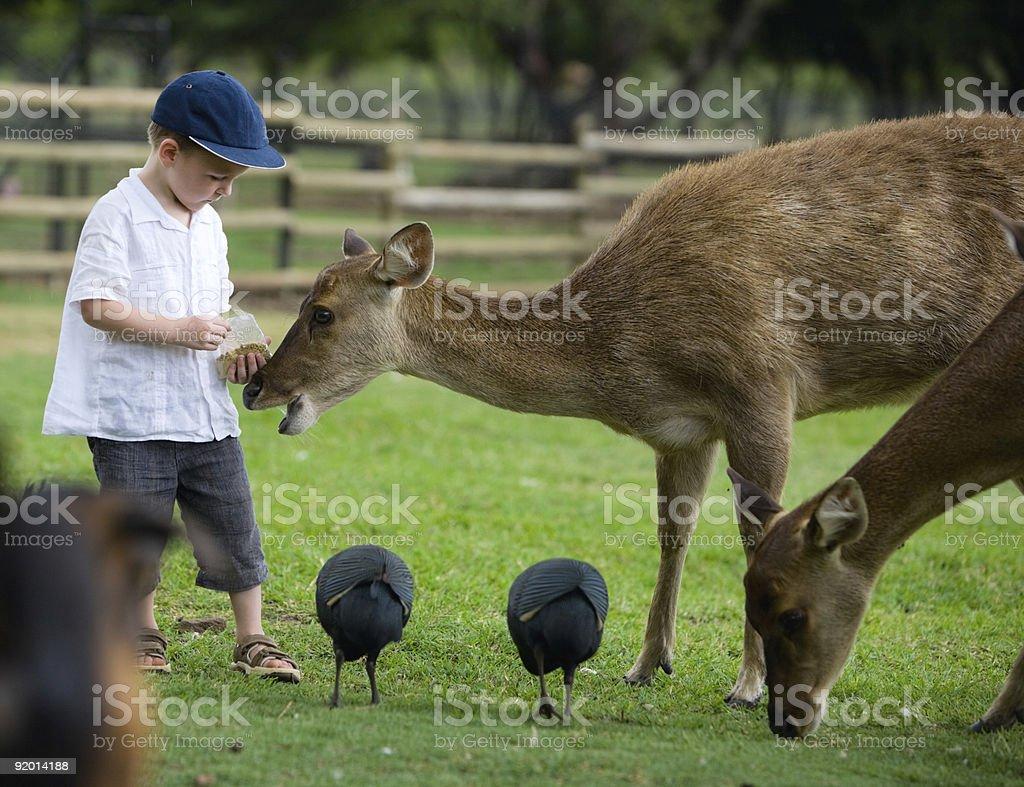 Feeding Deers royalty-free stock photo
