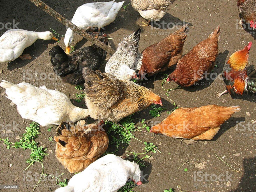 Feeding domestic birds stock photo