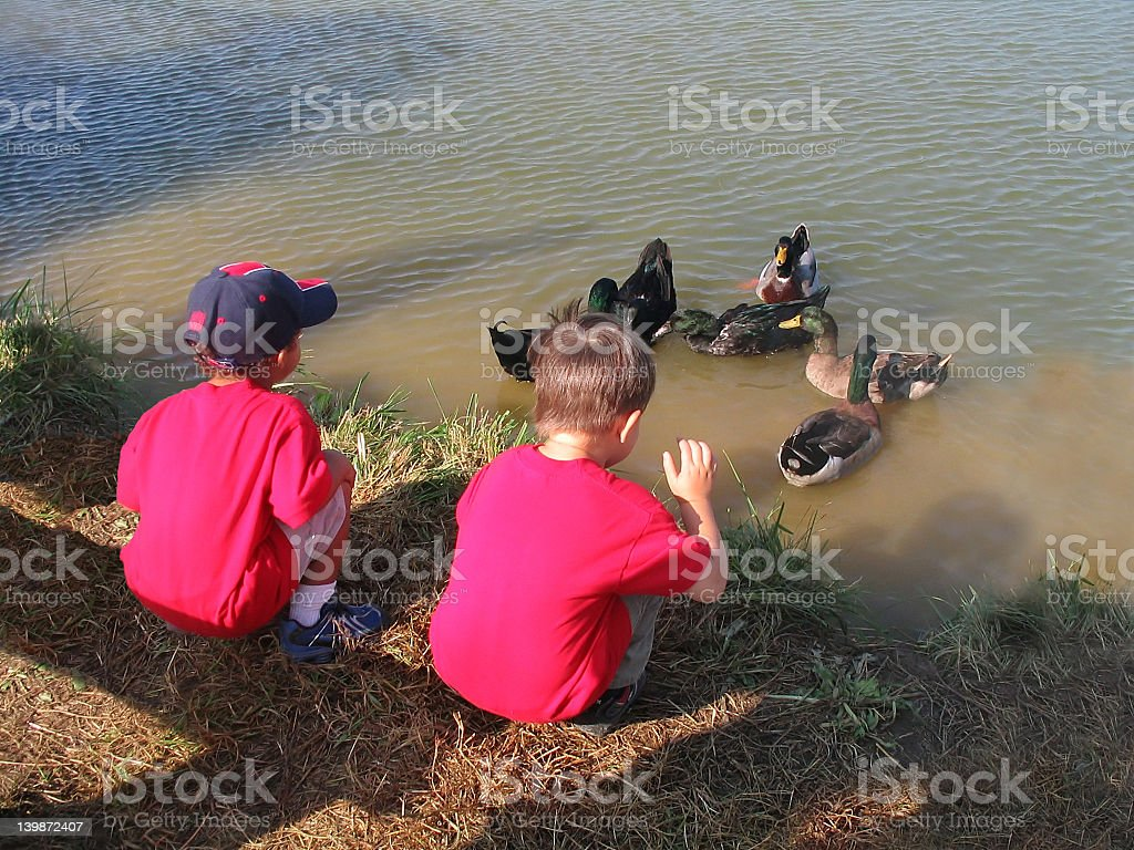Feeding ducks stock photo