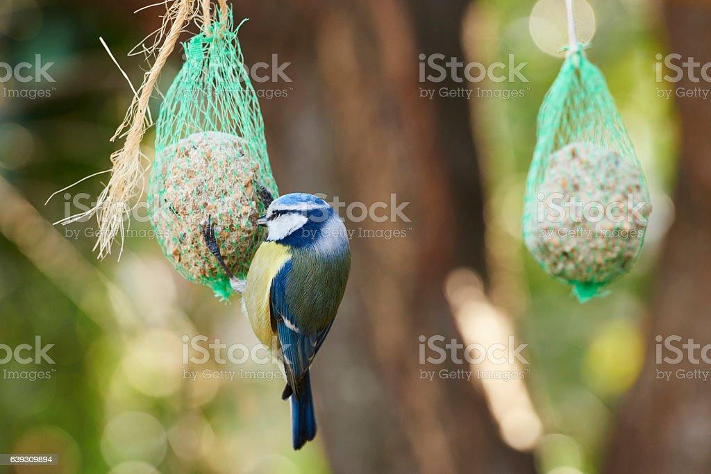 Feeding Eurasian Blue Tit stock photo