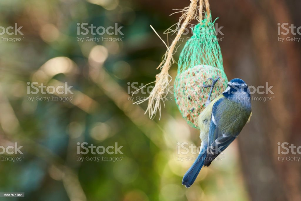 Feeding Eurasian Blue Tit stock photo