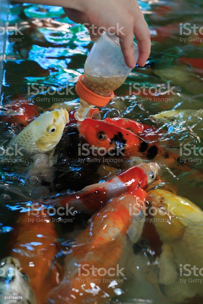 Кормление рыб фантазии Карп Стоковые фото Стоковая фотография