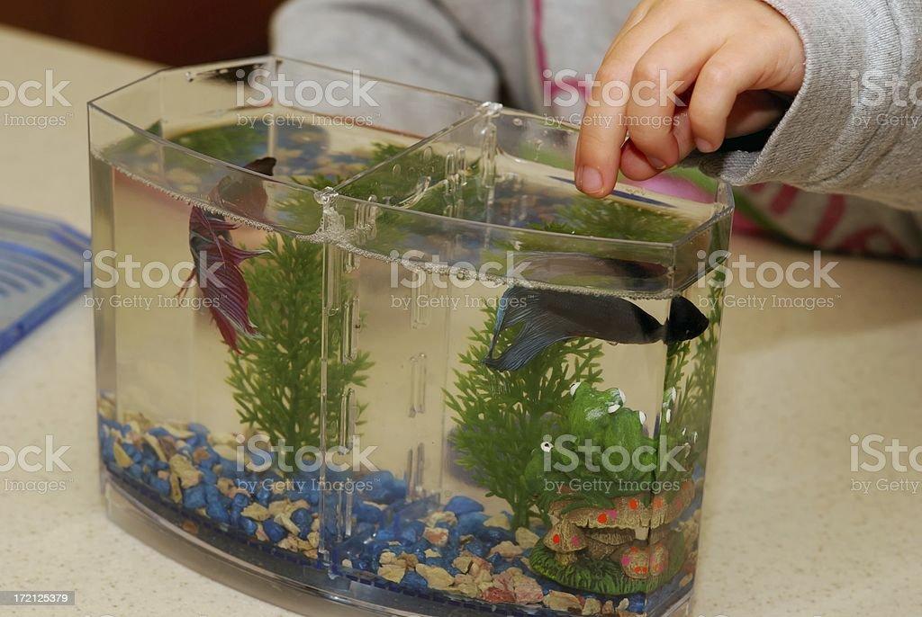 feeding fish royalty-free stock photo