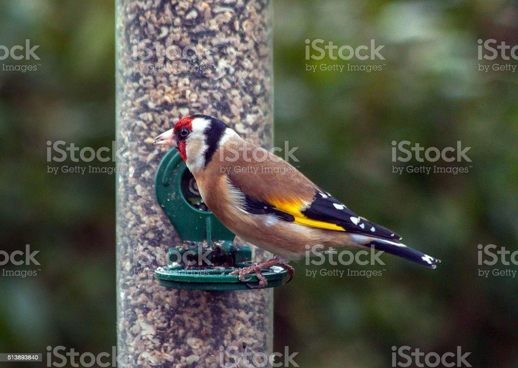 Feeding garden birds in winter: goldfinch stock photo