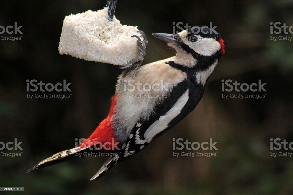 Feeding garden birds in winter: great spotted woodpecker stock photo