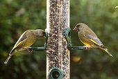 Feeding garden birds in winter: greenfinches