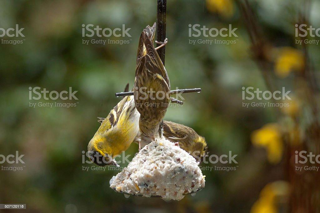 Feeding garden birds in winter: three siskin stock photo