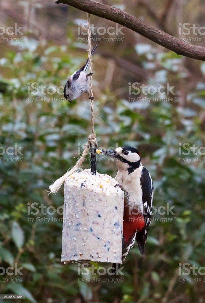 Feeding garden birds in winter: woodpecker and longtail tit stock photo